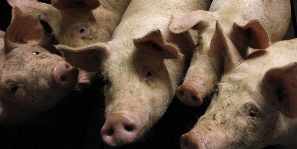 schweineställe auf stroh