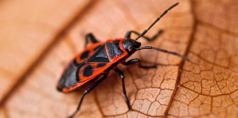 insekten rassismus trifft wanzen warum wir die sch nen sch tzen. Black Bedroom Furniture Sets. Home Design Ideas