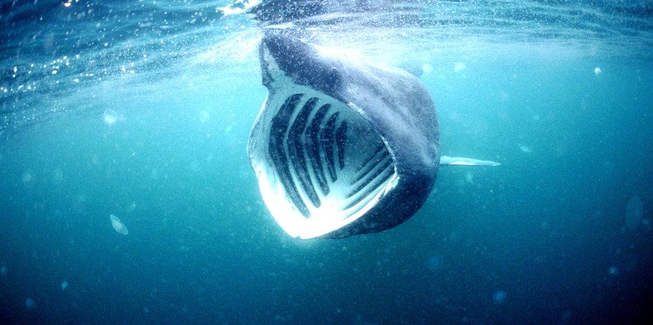 US-Sender reißt das Maul weit auf: Die Legende vom Mega-Hai - taz.de