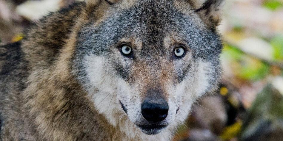 Artenschutz in Deutschland: Immer mehr Wolfsrisse