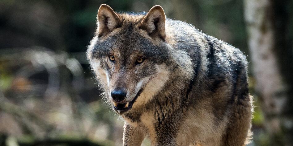 zwischen hund und wolf taz