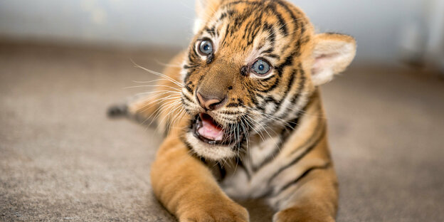 wildtiere als haustiere ein tiger braucht kein herrchen. Black Bedroom Furniture Sets. Home Design Ideas