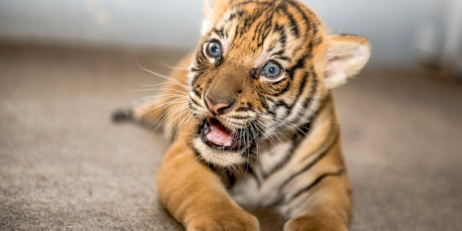 Wildtiere Als Haustiere Ein Tiger Braucht Kein Herrchen Tazde