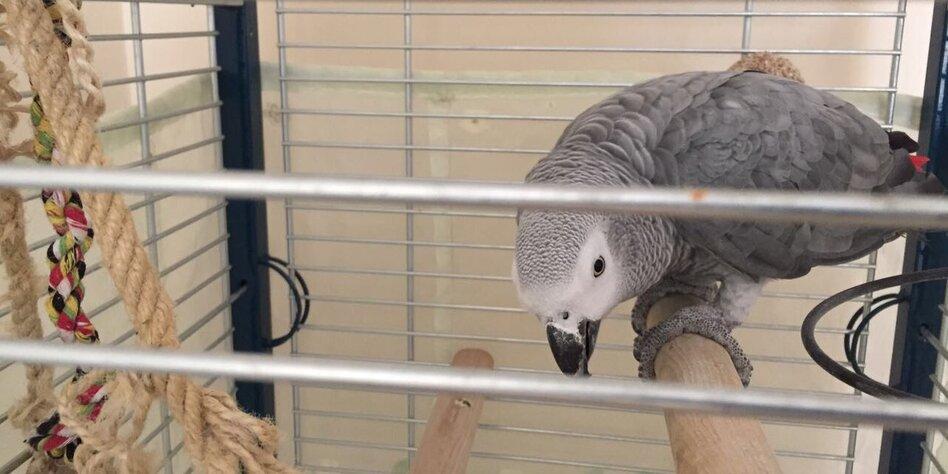 Der Graupapagei Tolaz sitzt auf der Stange in seinem Gehege.
