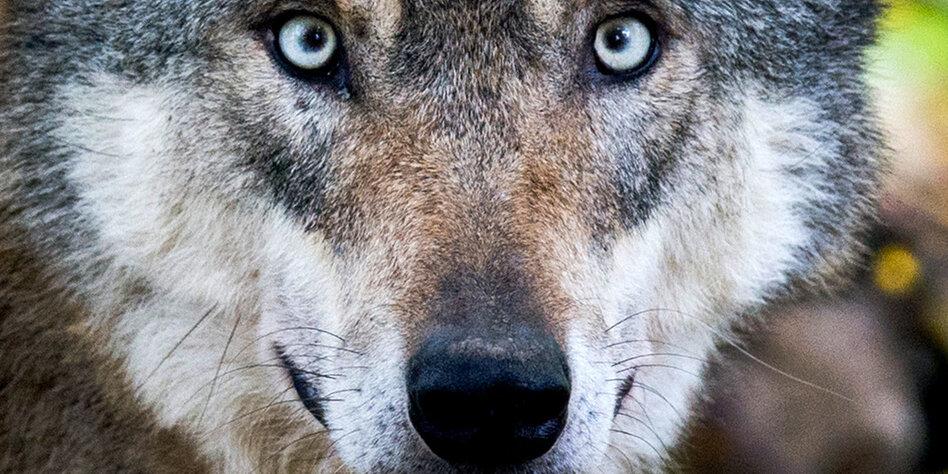 Wölfe in Deutschland: Er kommt uns näher, immer näher