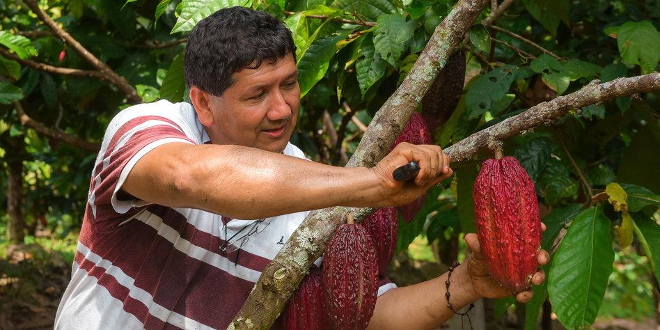 kakaoanbau in kolumbien s er friedensbringer. Black Bedroom Furniture Sets. Home Design Ideas