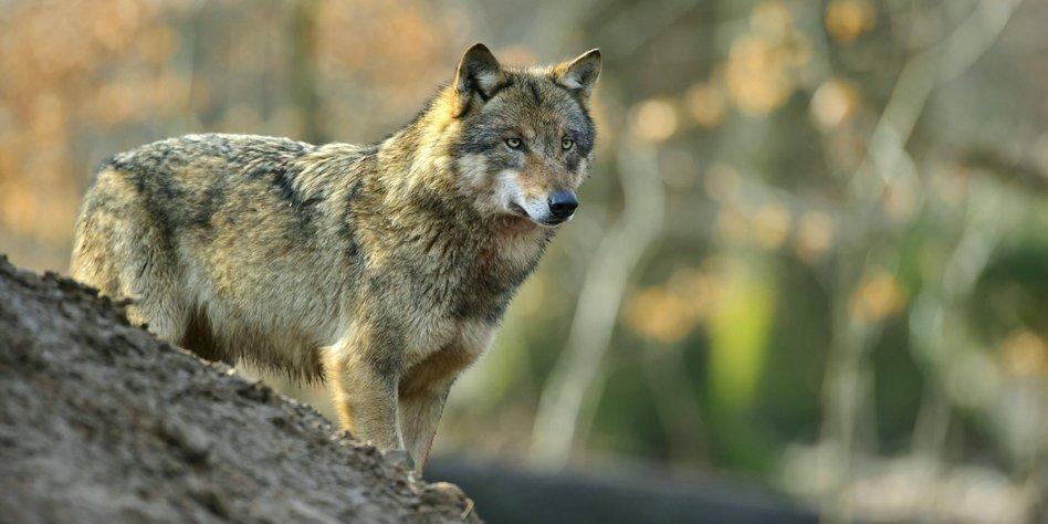 rückkehr wolf niedersachsen
