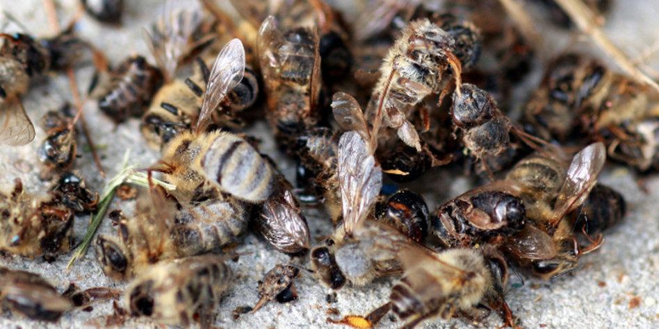 winzige fliege bedroht honigbienen zappelnde zombies. Black Bedroom Furniture Sets. Home Design Ideas