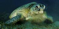 Suppenschildkröten gehen Männchen aus: Fortplanzung in Gefahr