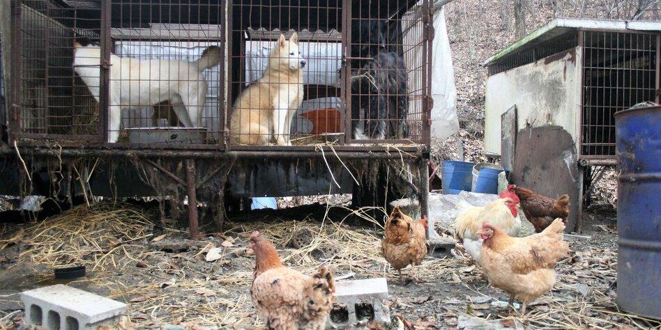 drei hunde stehen in einem gitterkfig davor stehen einige hhner - Ideen Fr Kleine Hinterhfe Mit Hunden