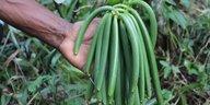 Landwirte pflücken Schoten zu früh: Vanille verliert an Aroma