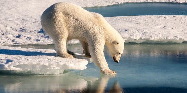 Eisbär Eisscholle