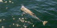 Schweinswale in Nord- und Ostsee: Vom Aussterben bedroht