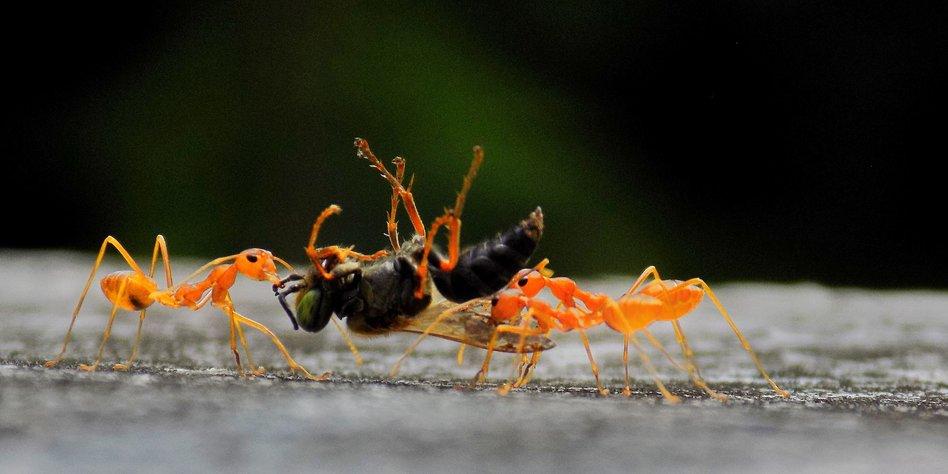 insektensterben betrifft auch ameisen auge in auge mit der waldameise. Black Bedroom Furniture Sets. Home Design Ideas