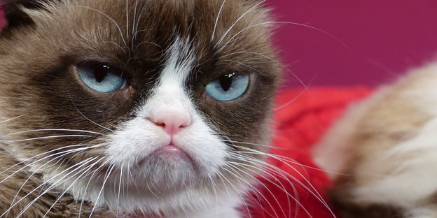 Grumpy Cat, das Original