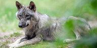 Wolfsangriff auf Kinder in Polen: Bissiger Wolf könnte Lockopfer sein