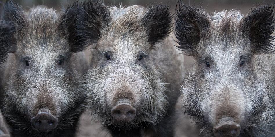 Zum Schutz Vor Wildschweinen Danemark Zaunt Sich Ein Taz De