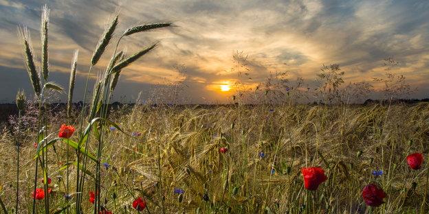 Getreidefeld mit Blumen im Sonnenuntergang