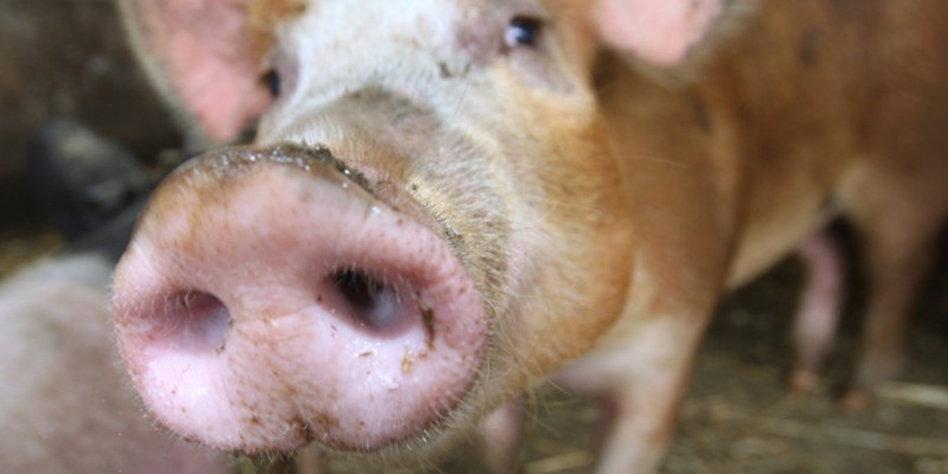 warum essen moslems kein schweinefleisch