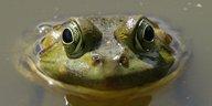 Gefährdeter Frosch aus Bolivien: Quakender Bachelor im Liebesglück