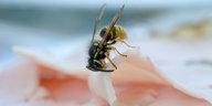 Die Wahrheit: Wespe gegen Wessiland