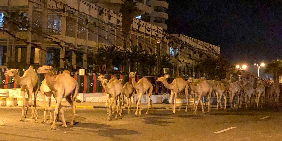 Krieg in Libyen: 3.000 Kamele evakuiert
