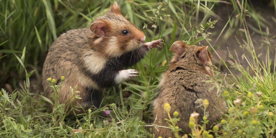 Immer auf die Kleinen: Gerechtigkeit für den Hamster