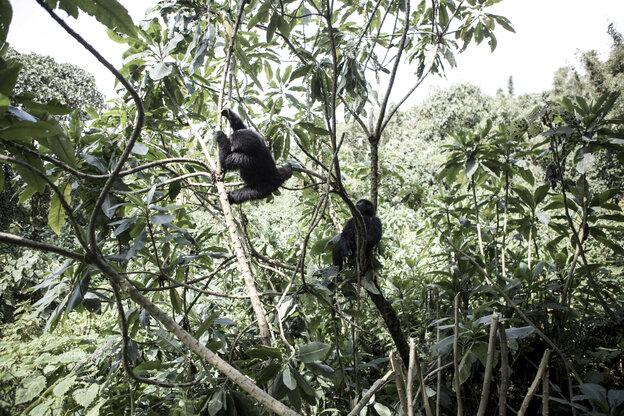 Berggorilas auf einem Baum.