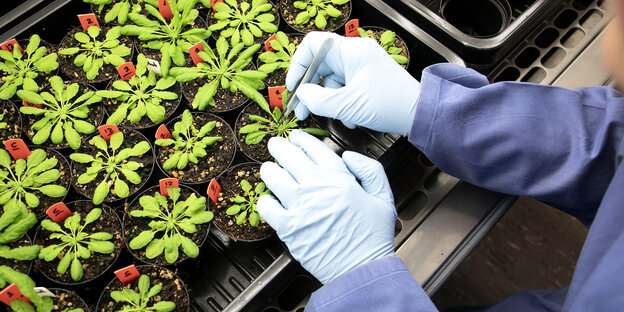 Eine ForscherIn bearbeitet mit Gummihandschuhen geschützt Pflanzen, die in Töpfen wachsen