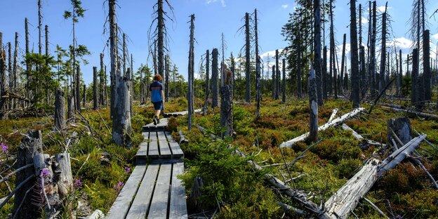 Eine Person läuft über einen Pfad aus Paletten durch einen Wald, dessen Bäume größtenteils verdörrt und abgestorben sind.