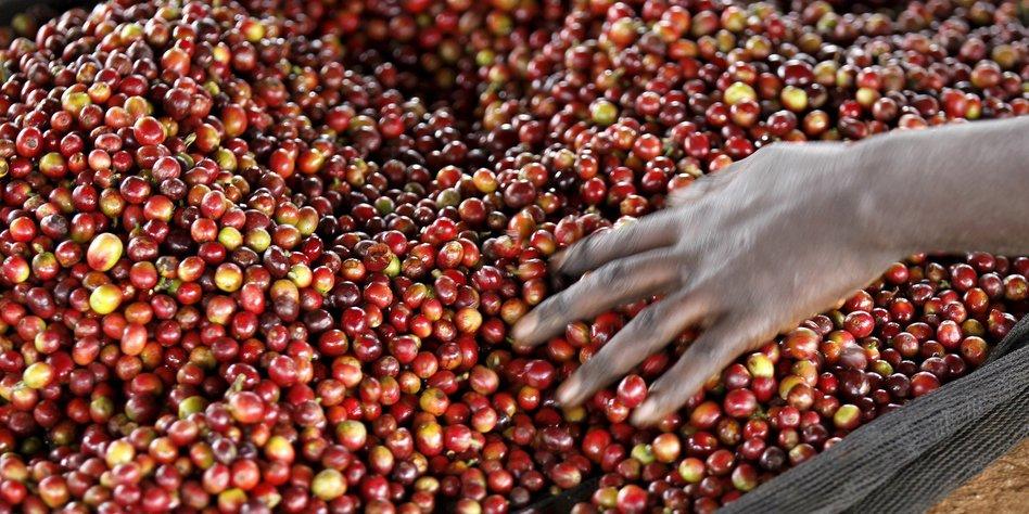 Online-Shop für fair und direkt gehandelten Kaffee aus Uganda, Afrika. Der Robusta-Kaffee