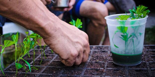 Hände, die Setzlinge von Cannabispflanzen in die Erde stecken