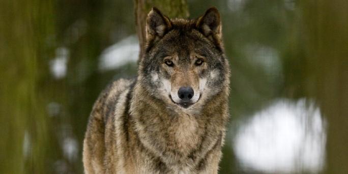 nordischer hirsch elch