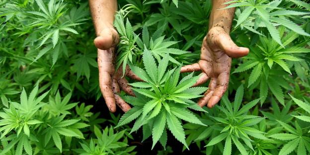 Cannabis_dpa_2203.jpg