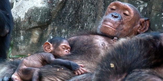 Schimpanse 01.20110128 13