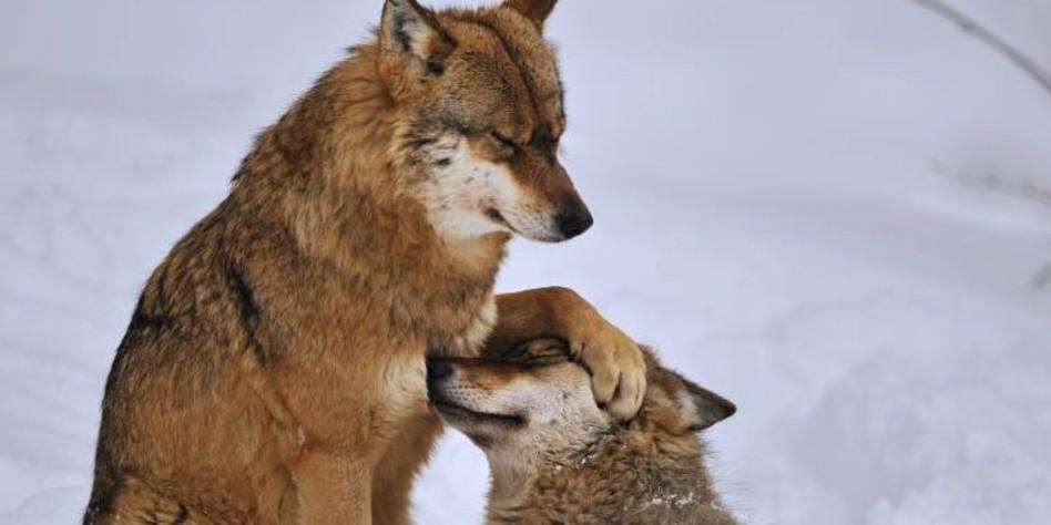 jagen in schweden der schwede ist des wolfes wolf. Black Bedroom Furniture Sets. Home Design Ideas